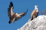 Animals - Griffon vulture