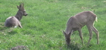 Animals - Roe deer